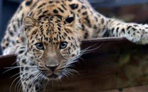 Nestali jaguar predstavlja veliku opasnost za ljude